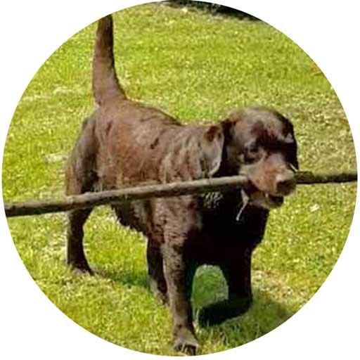 Labrador Rüde Hugo